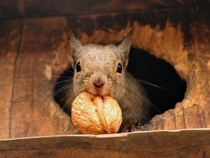 33987-Squirrel-With-Walnut
